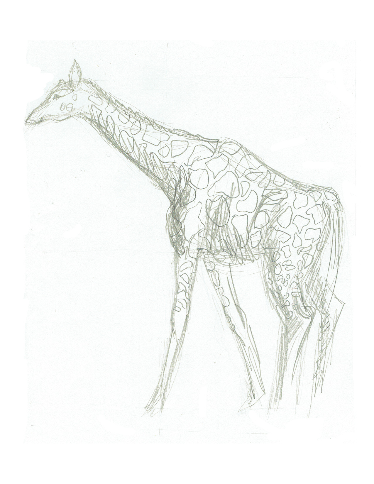 Surrounded zoo giraffe 2 loose pencil sketch of adult giraffe striding slowly around its zoo enclosure